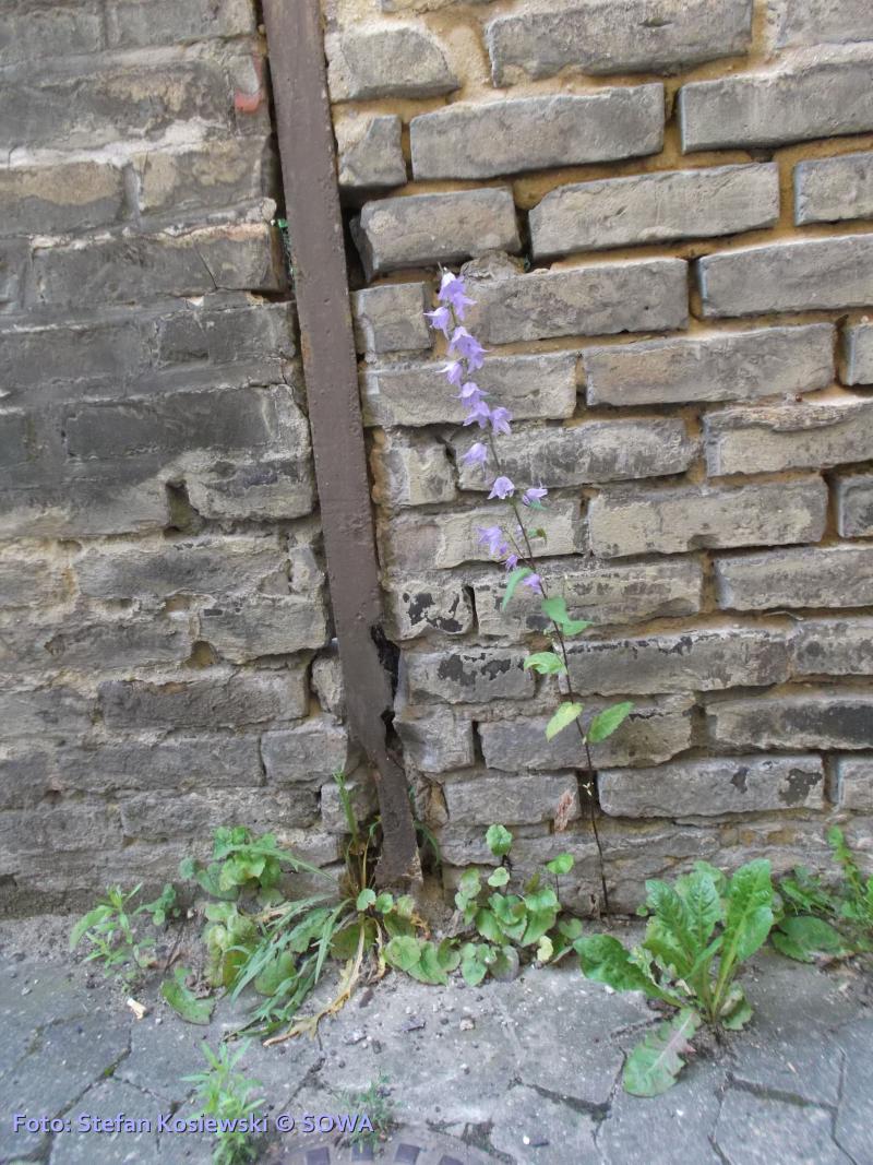 Mur kwiatek kosiewski